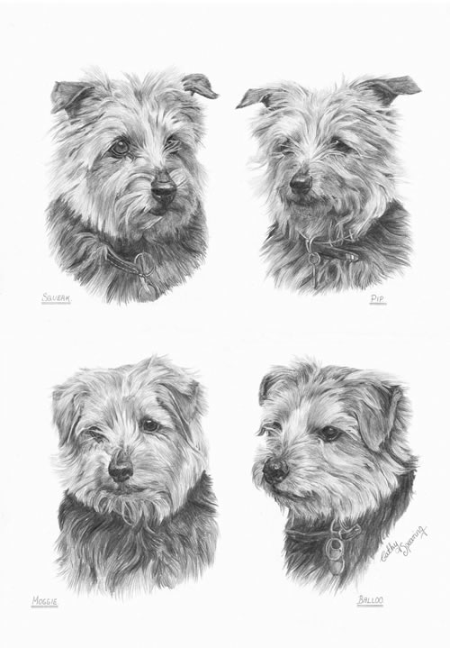 4 Norfolk Terriers